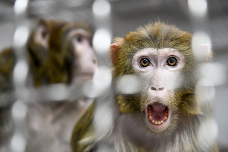 A Rhesus Macaque in a Quarantine Room