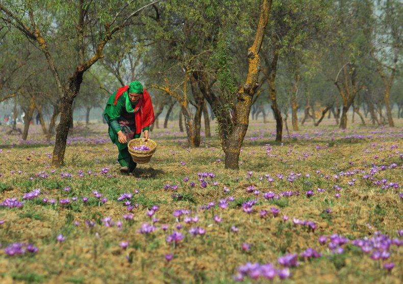 Picking saffron flowers
