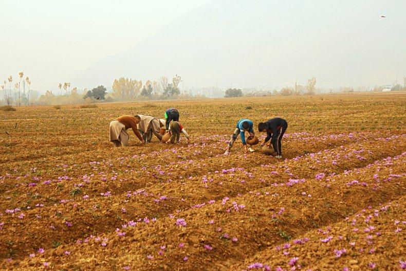Picking saffron flowers in field