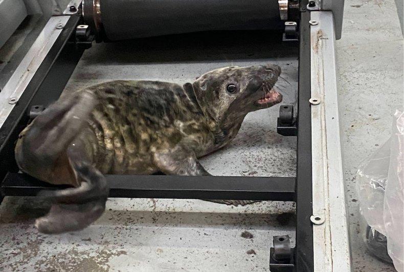 Seal pup, rspca