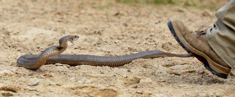 Australia Eastern Brown Snake Dugite