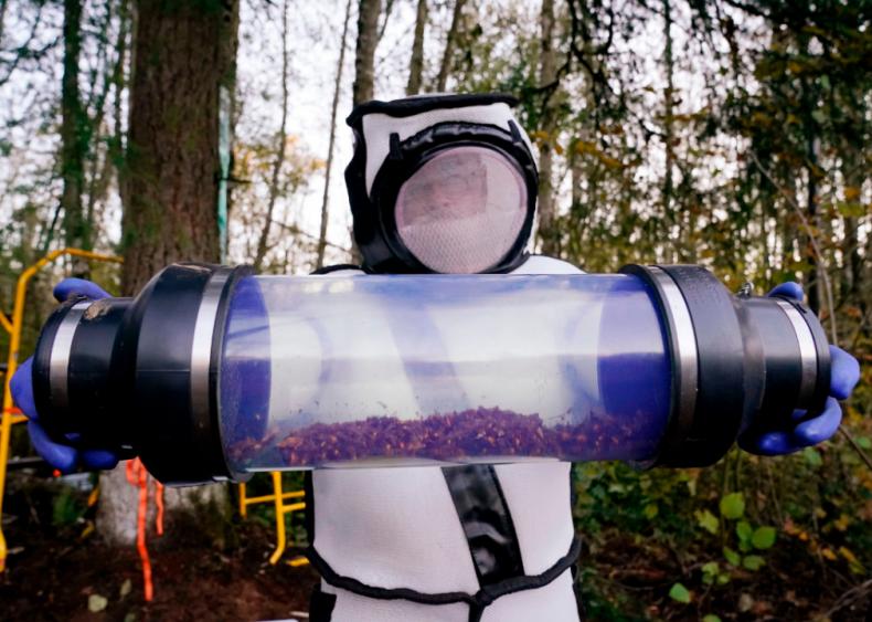 May 2: Murder hornets reach the U.S.