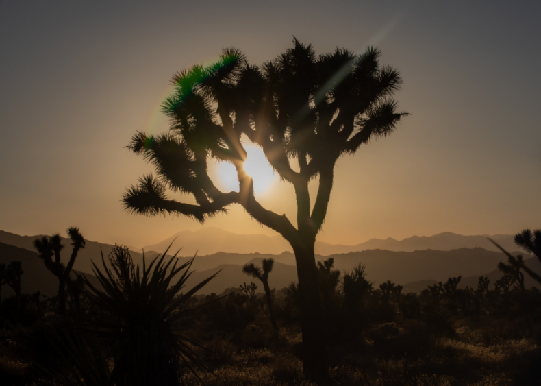 September 25: Joshua trees become the first plants to receive protection