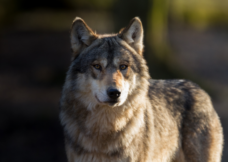 November 6: Colorado votes to bring back wolves