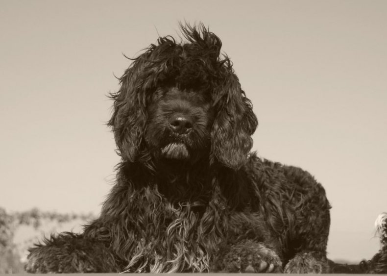 #49. Portuguese water dog