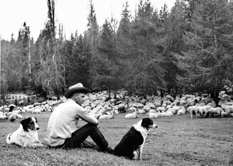 #29. Miniature American shepherd
