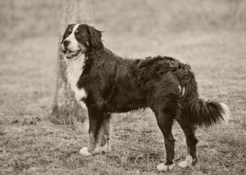 #23. Bernese mountain dog