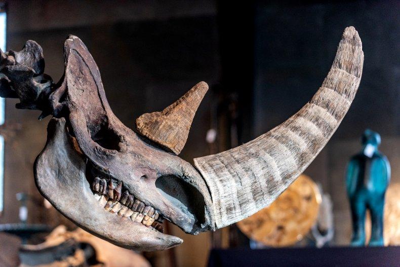 Wooly Rhinocerous ice age