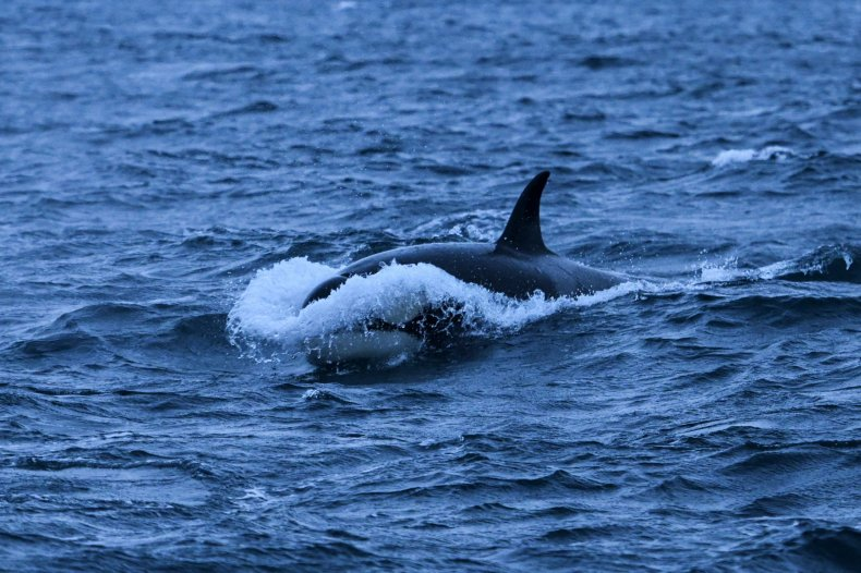 An orca hunting