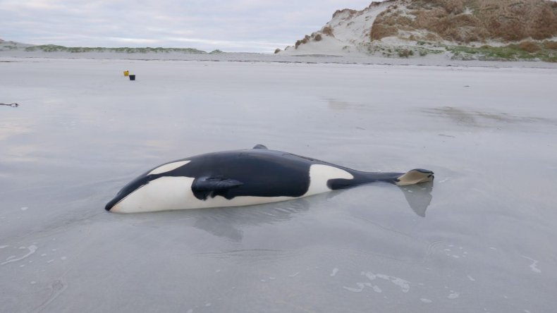 Young Orca Stranded on Beach in UK
