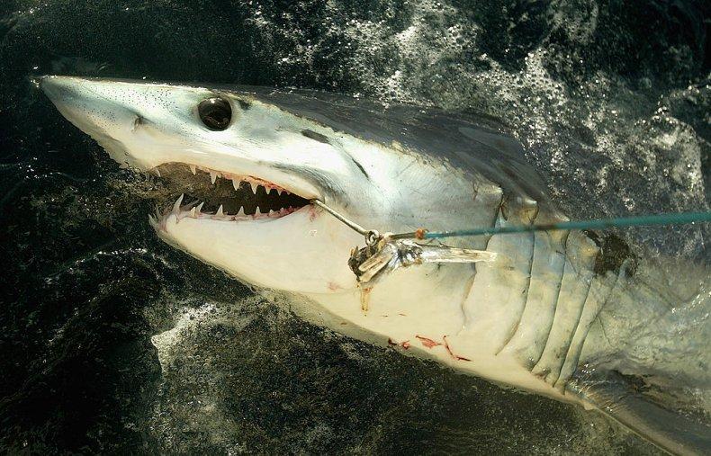 A mako shark caught by fishermen
