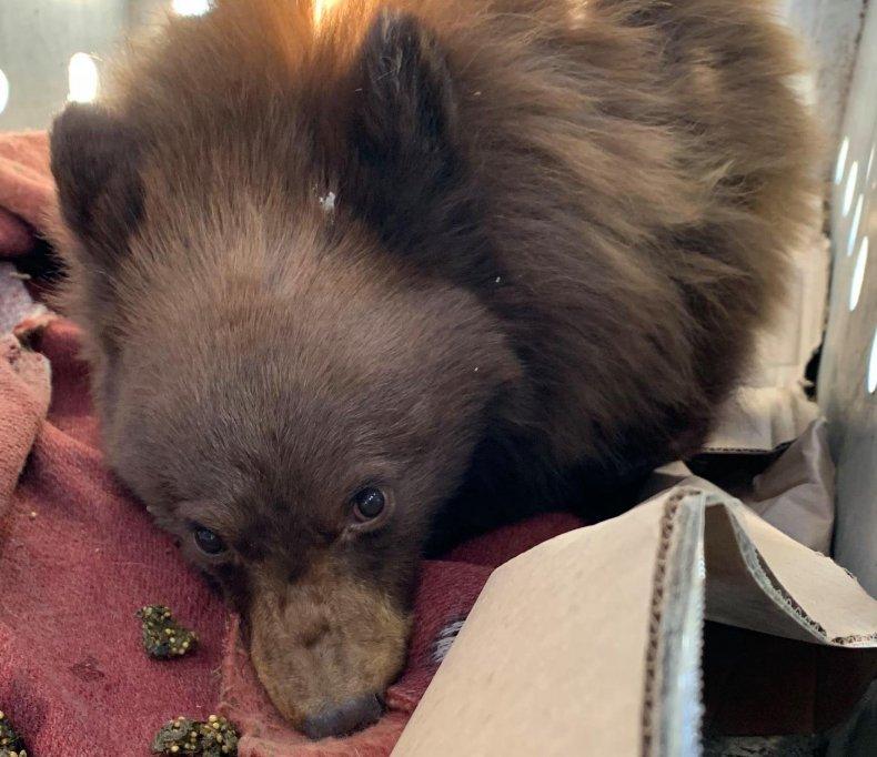 Wounded bear cub