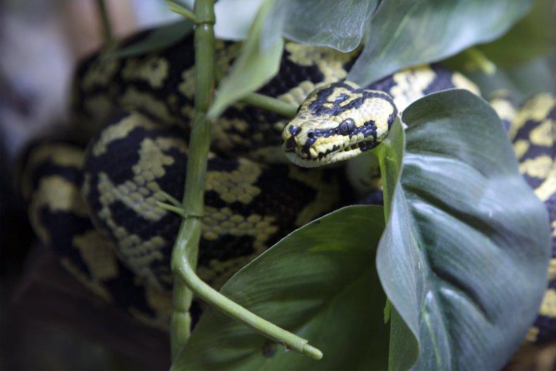 A carpet python snake