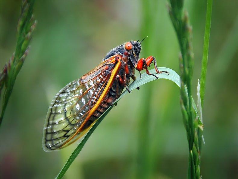cicada, brood 10, stock, getty