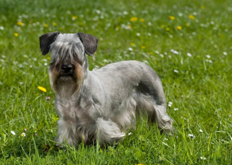 #29. Cesky terrier
