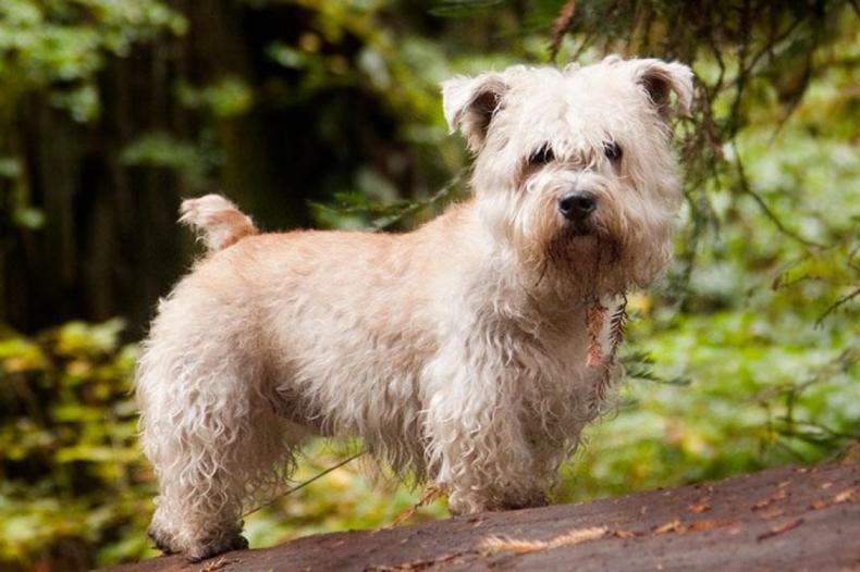 #28. Glen of Imaal terrier