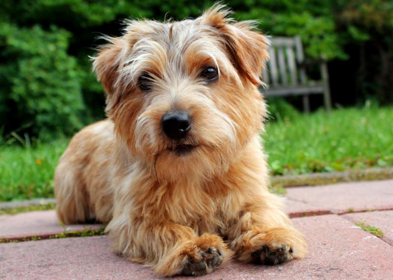 #25. Norfolk terrier