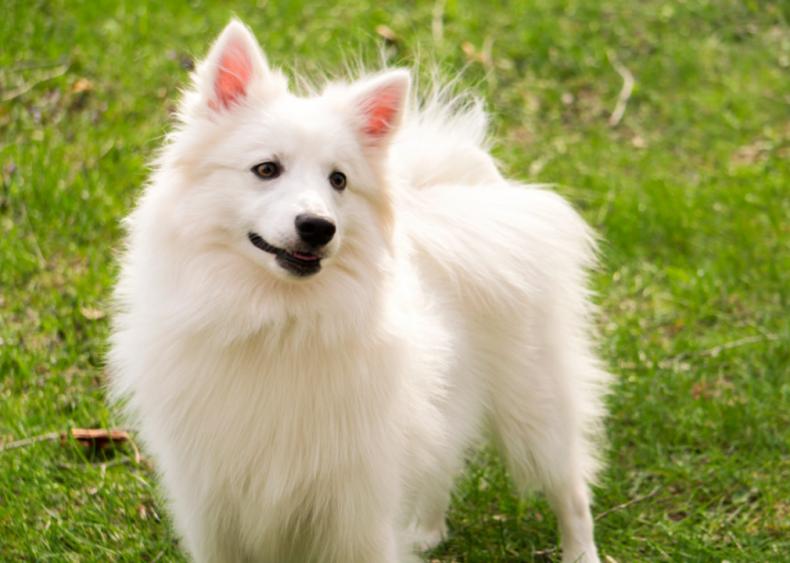 #24. American Eskimo dog
