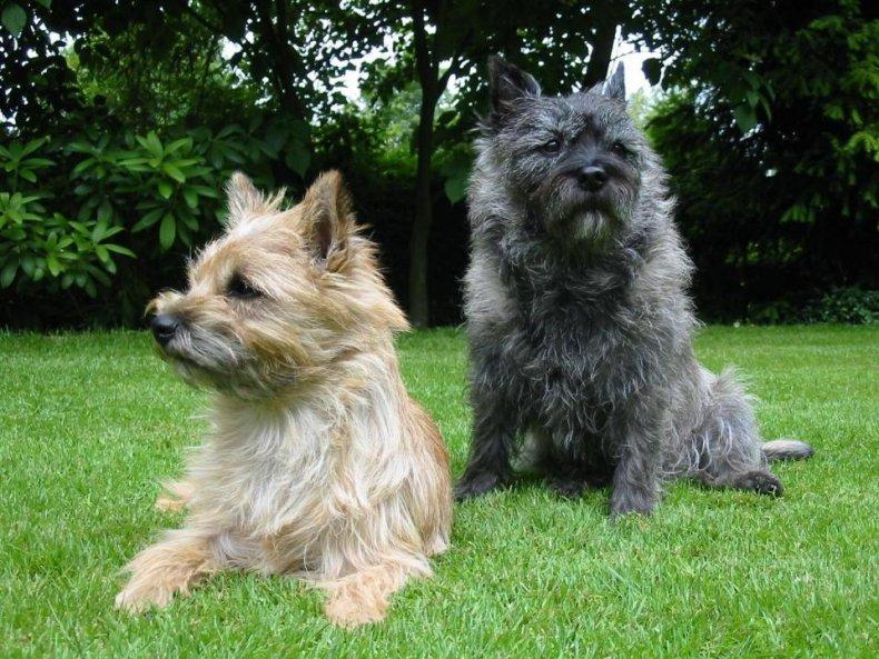 #19. Cairn terrier