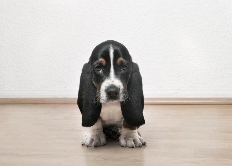 #13. Basset hound