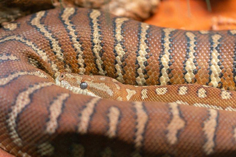 Close-up view of a carpet python (Stock)