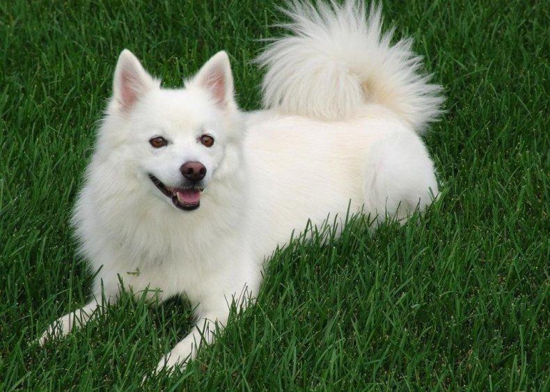 #30. American Eskimo dog