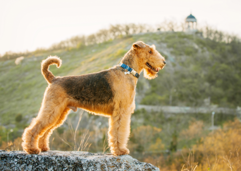 #19. Airedale terrier