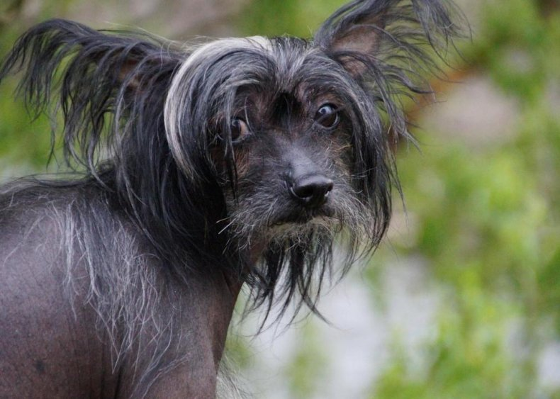 #30. Chinese crested