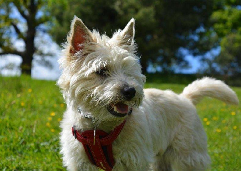 #27. Cairn terrier