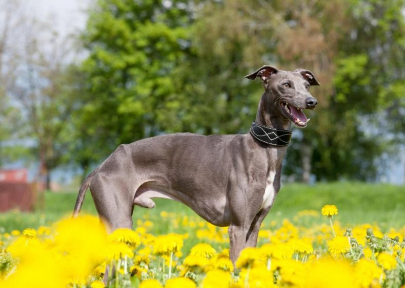 #26. Italian greyhound
