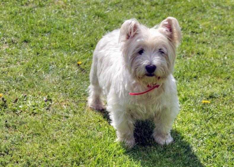 #19. West Highland white terrier