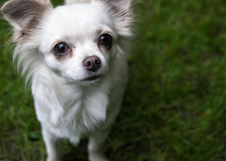 #16. Chihuahua