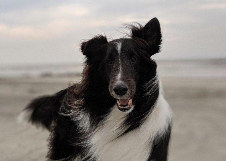 #12. Shetland sheepdog