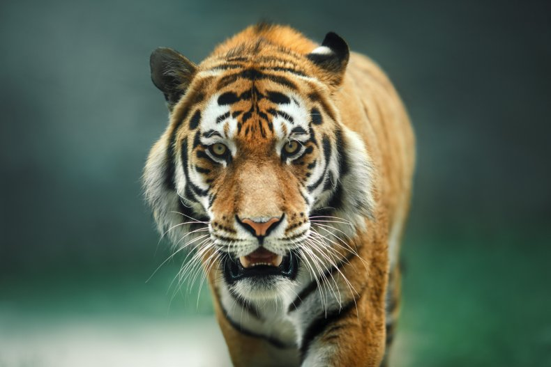 A tiger walking