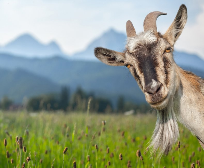 Stock photo of a goat