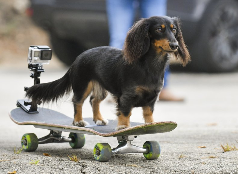 Daschund Dog