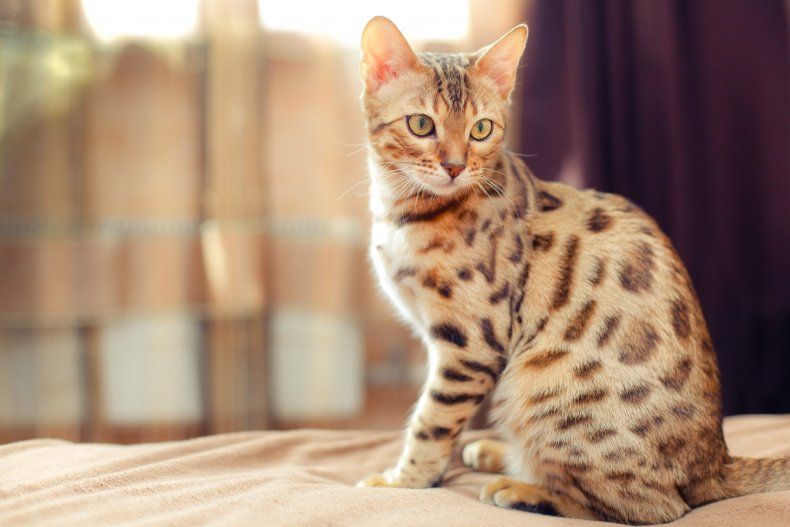 These Are the 11 Smartest Cat Breeds