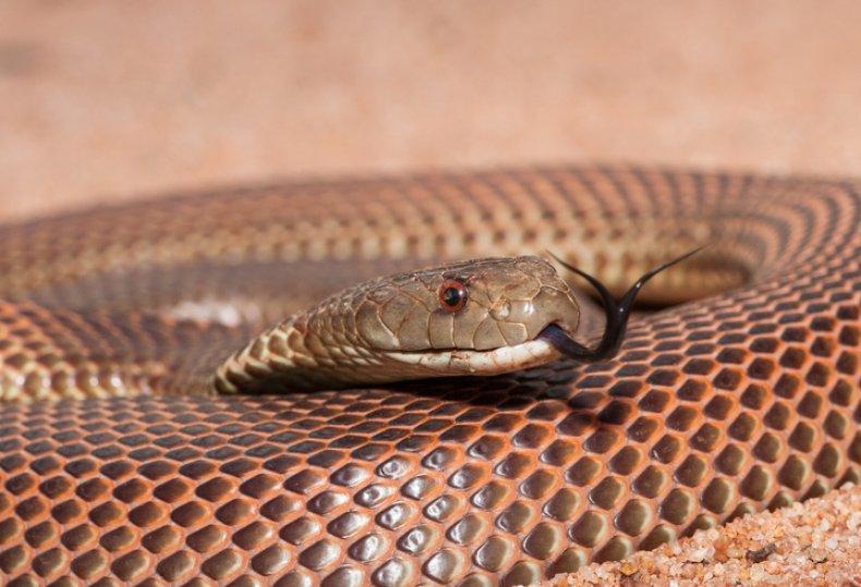 Stock: Mulga Snake