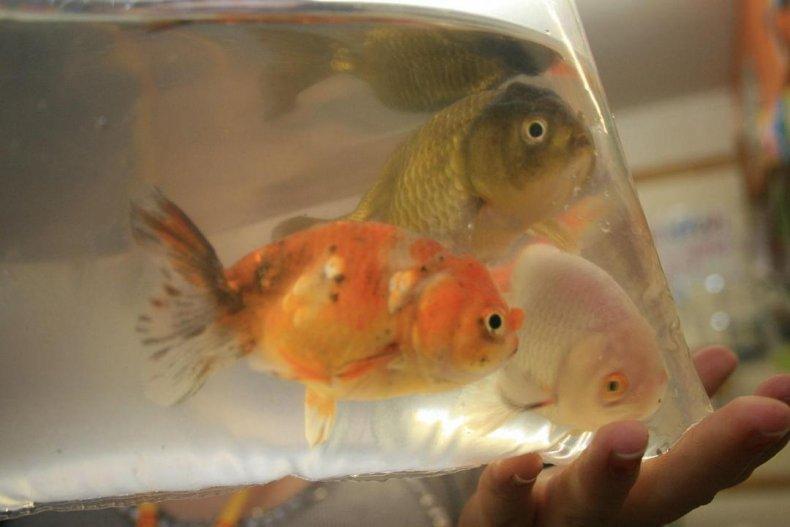 1939: Goldfish swallowing