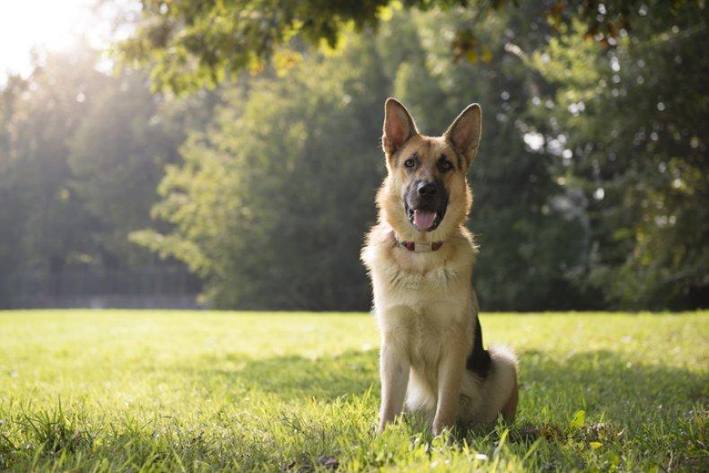 German shepherd in a park