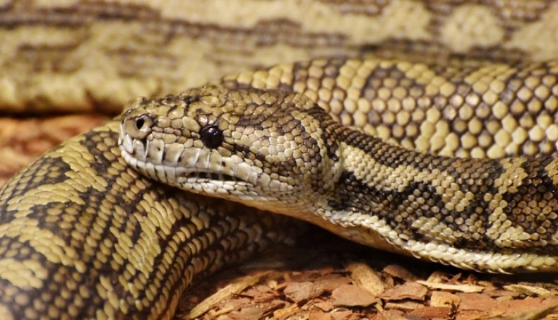 Carpet Python (Morelia spilota) stock photo