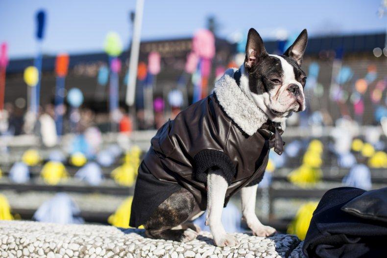 Bostonn Terrier