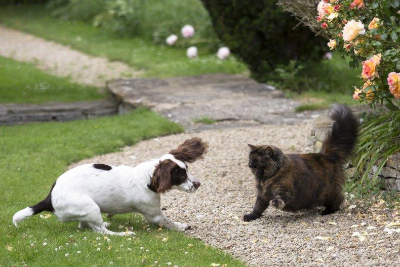 English Springer Spaniel dog, cat, England 2014