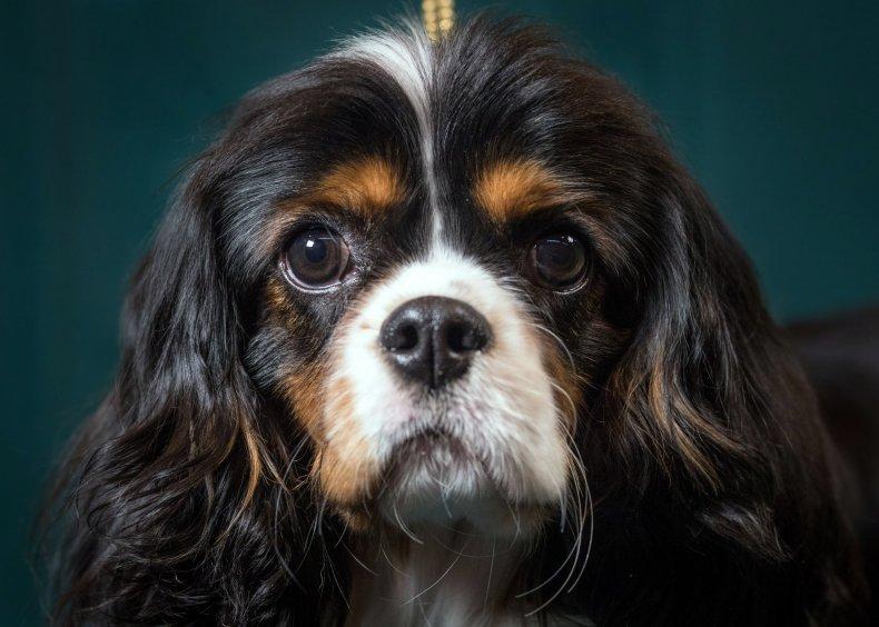 Cavalier King Charles spaniel dog 2017