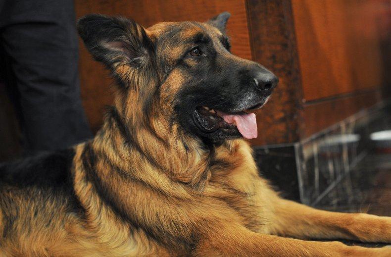 German shepherd dog NYC 2015