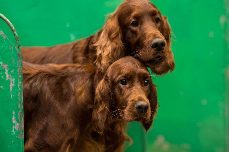 Irish setter dogs U.K. dog show 2018