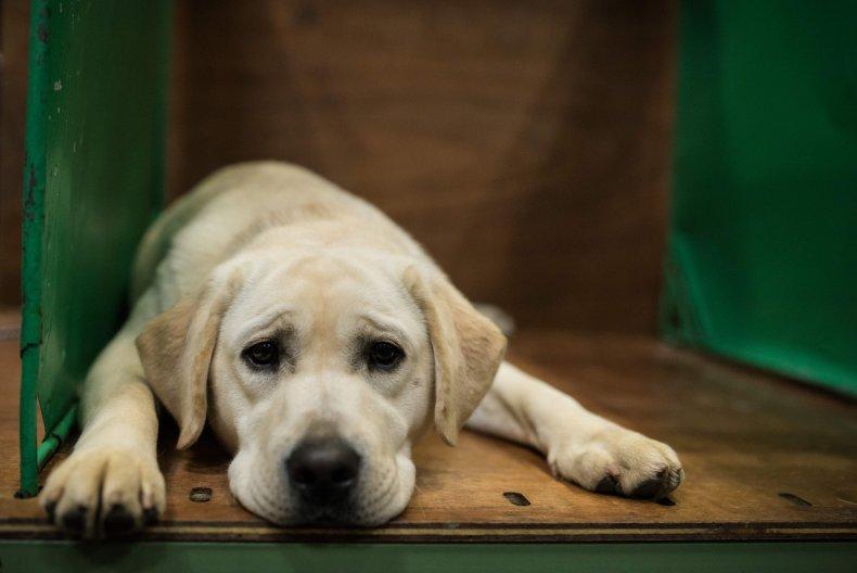 Labrador retriever U.K. 2018 dog show