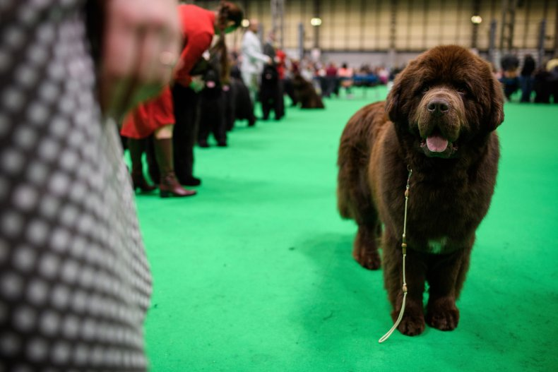 Newfoundland Dog Show UK 2018