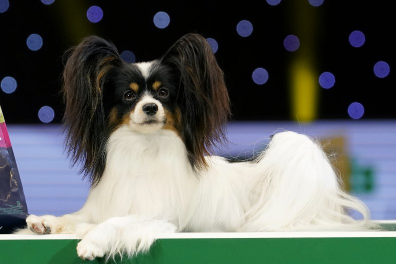 Papillon Dog Show UK 2019