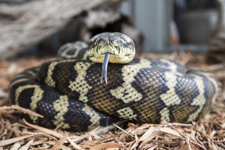Carpet Python (stock)